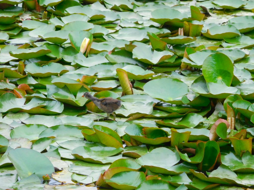 もえぎ野公園到着 池には水鳥がいました バンの雛かな?
