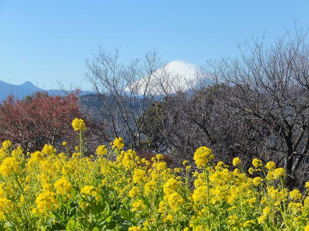 富士山と菜の花、前の木々が邪魔ですね