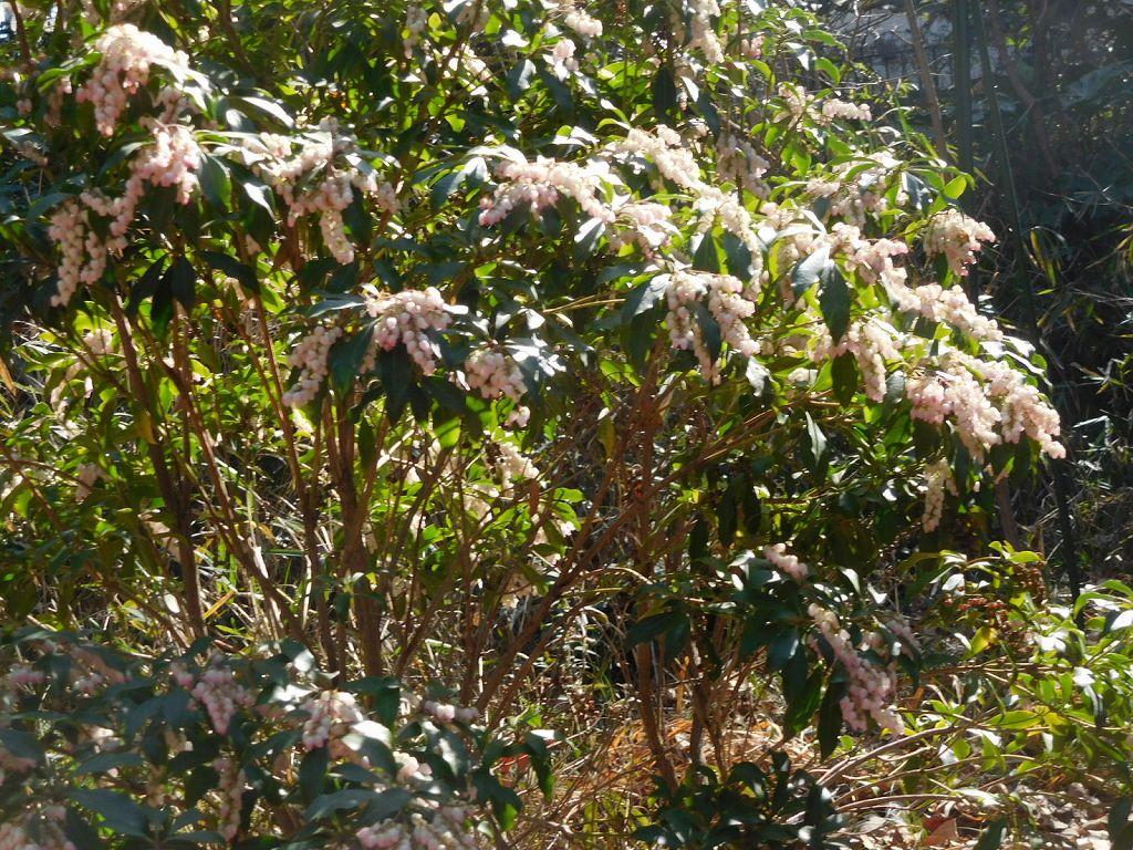公園出口には馬酔木の花も咲いてました