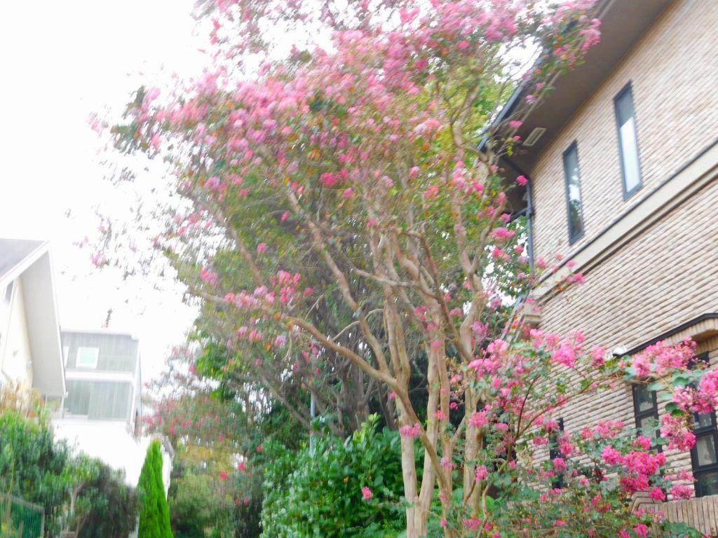 荏田遊歩道に咲く百日紅の花
