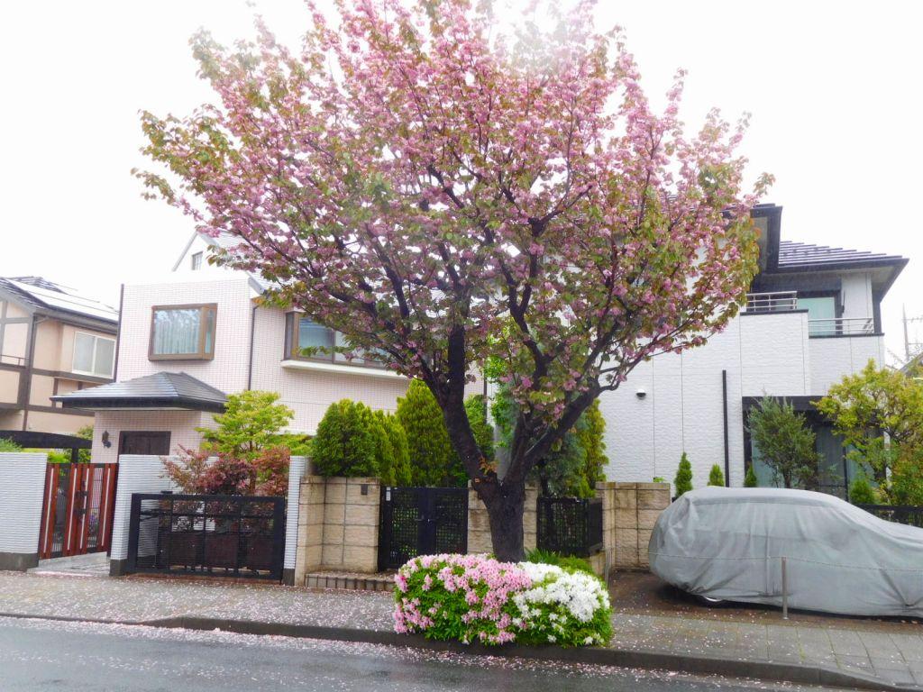 八重桜の下には紅白の躑躅
