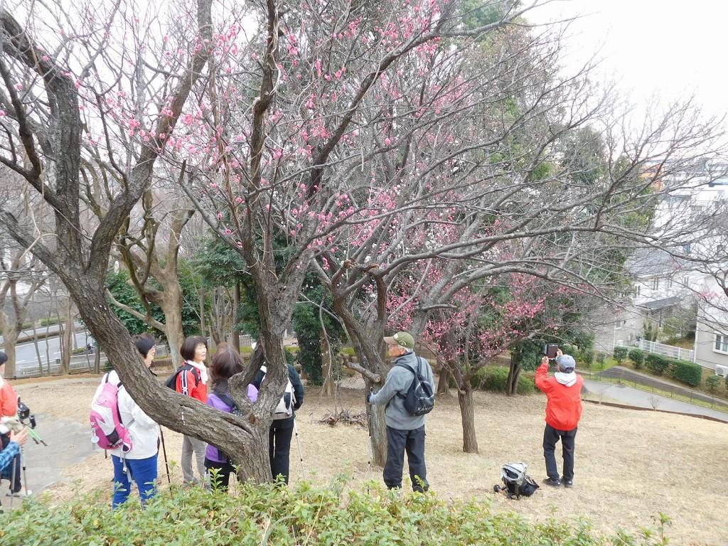 折田不動公園の紅梅を愛でる会員の皆さん