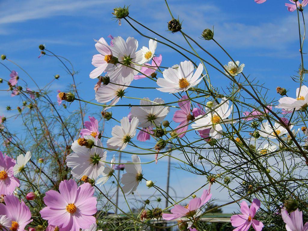 鶴見川沿いの畑にはコスモが咲いている