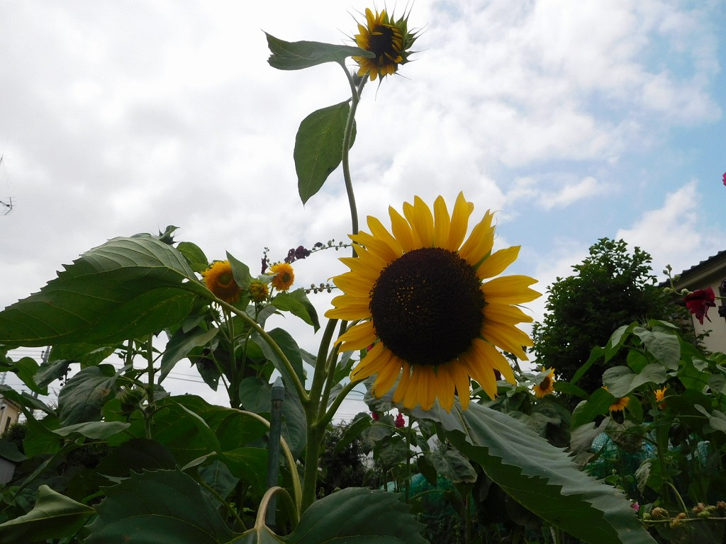 大きな向日葵