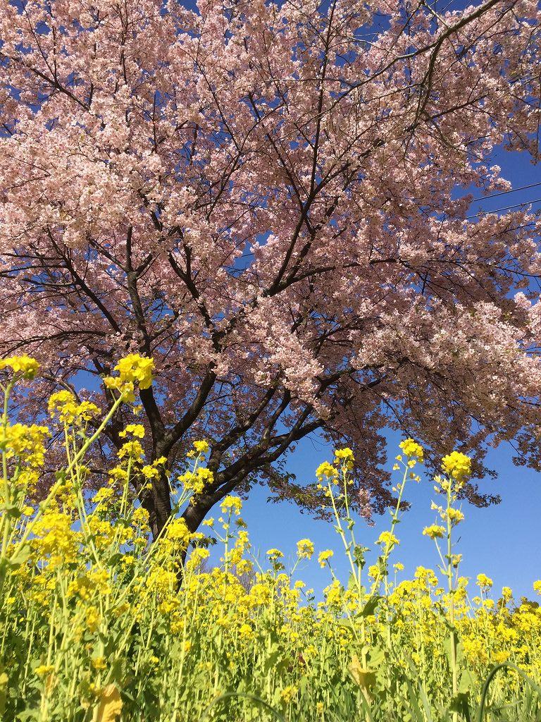 青空に菜の花と桜 色合いが良いですね
