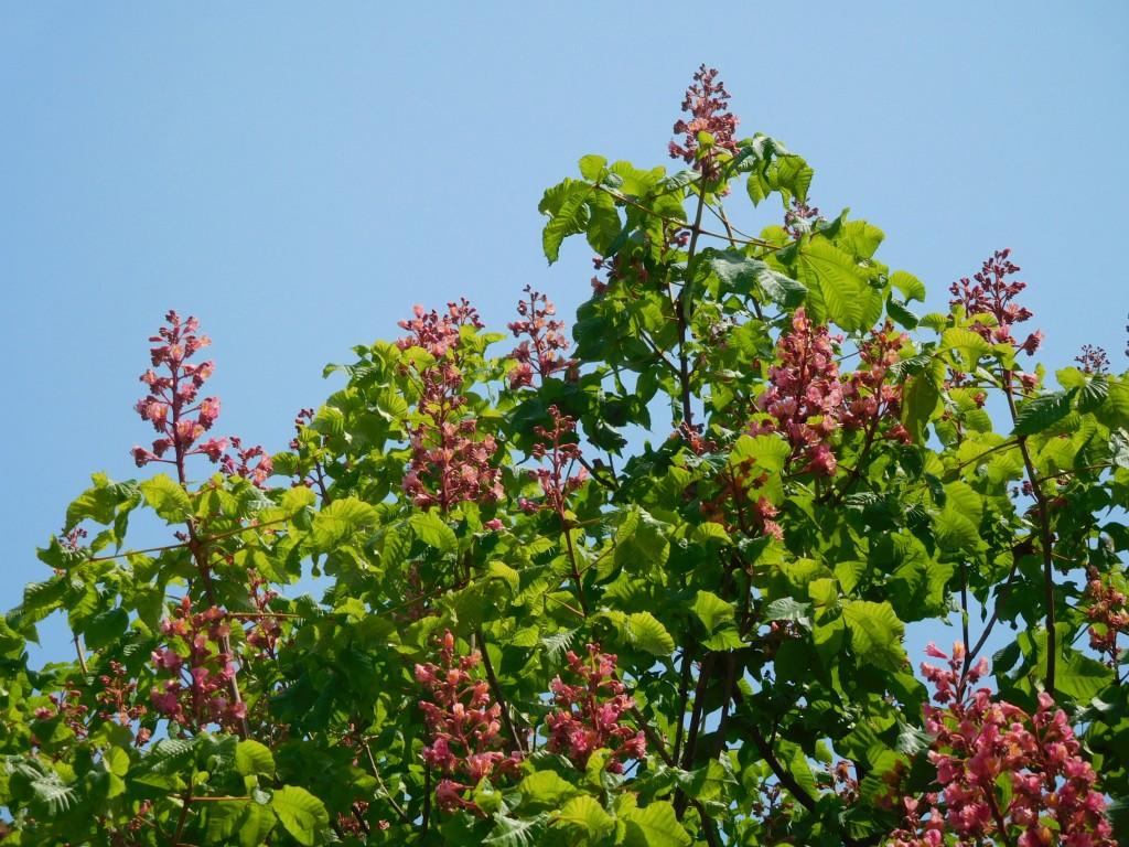 地区センターには紅花栃ノ木が満開でした