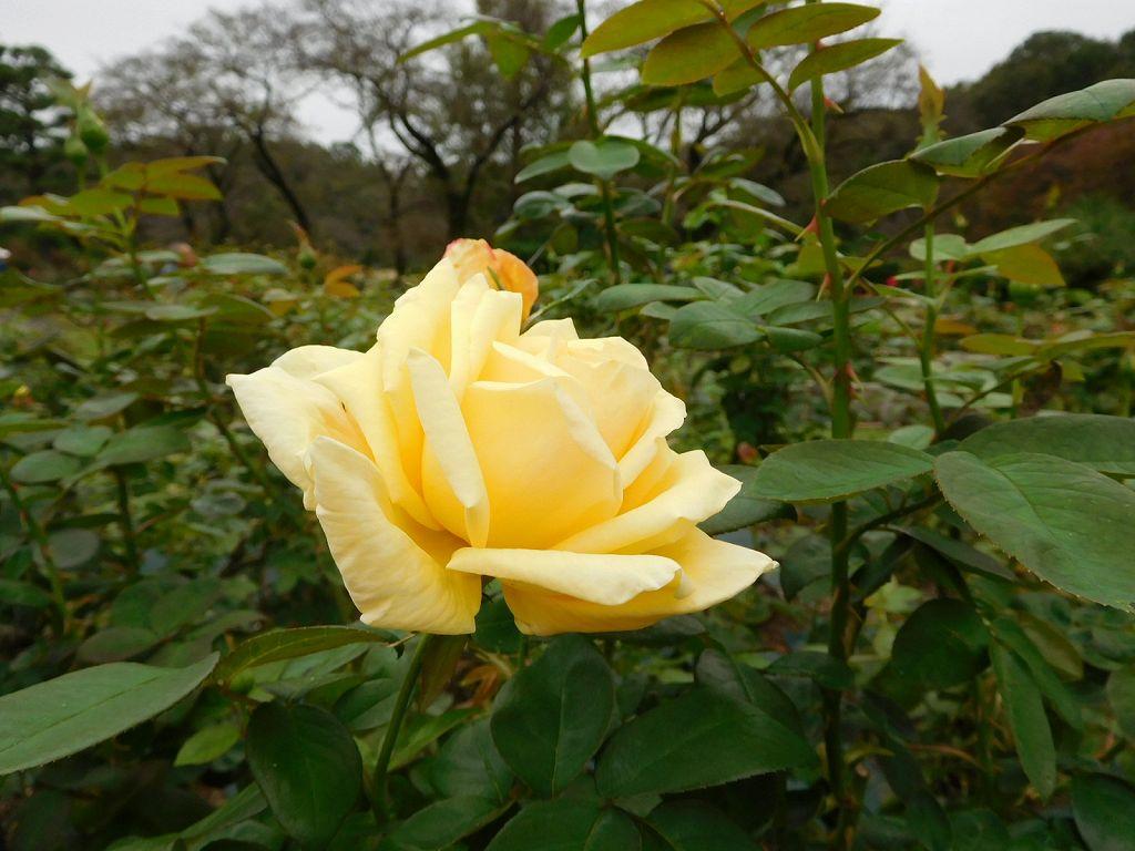 名前不明の黄色のバラ