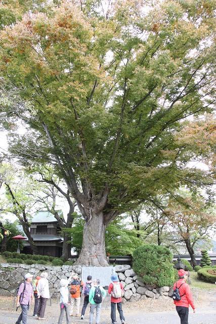 ミカン科「キハダ」 推定樹齢140~150年の大木 薬用として城内に植栽したらしい