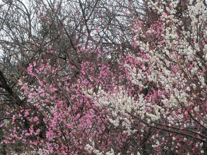 鶴見川沿いには紅梅・白梅が満開でした