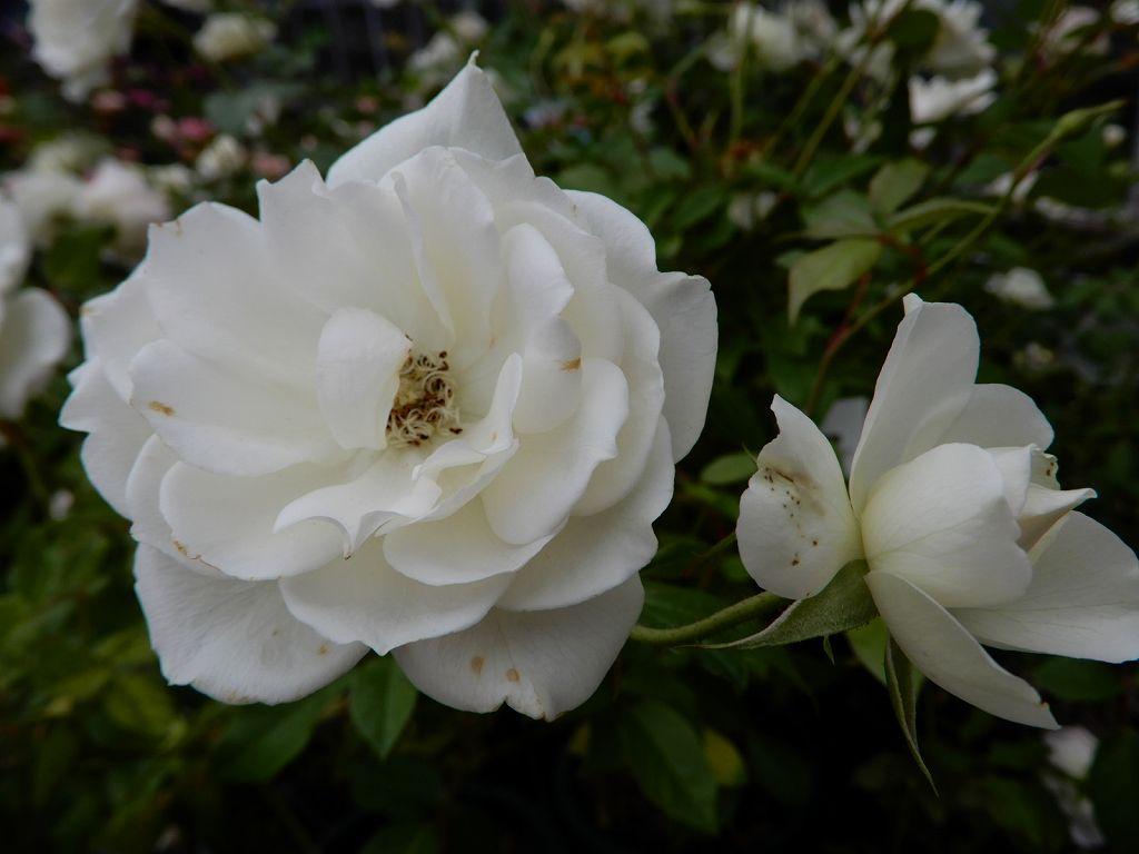 フロリバンダローズという名のバラ