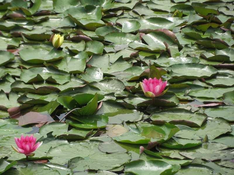 池には赤色の睡蓮も咲いていました