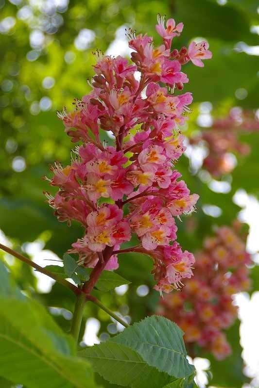 紅花栃ノ木の花、江田駅前には白花もある