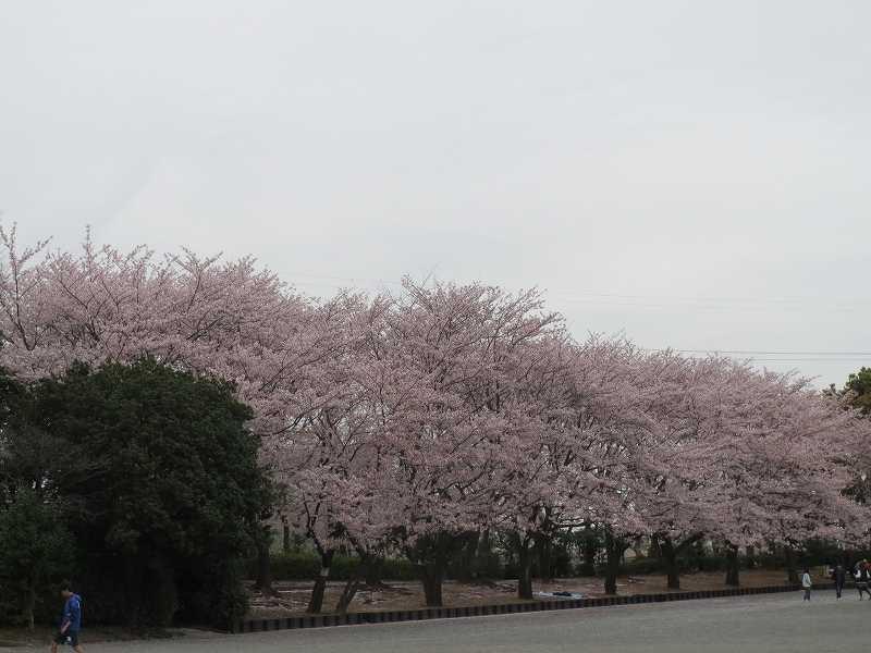 東方公園周囲の桜・桜・桜