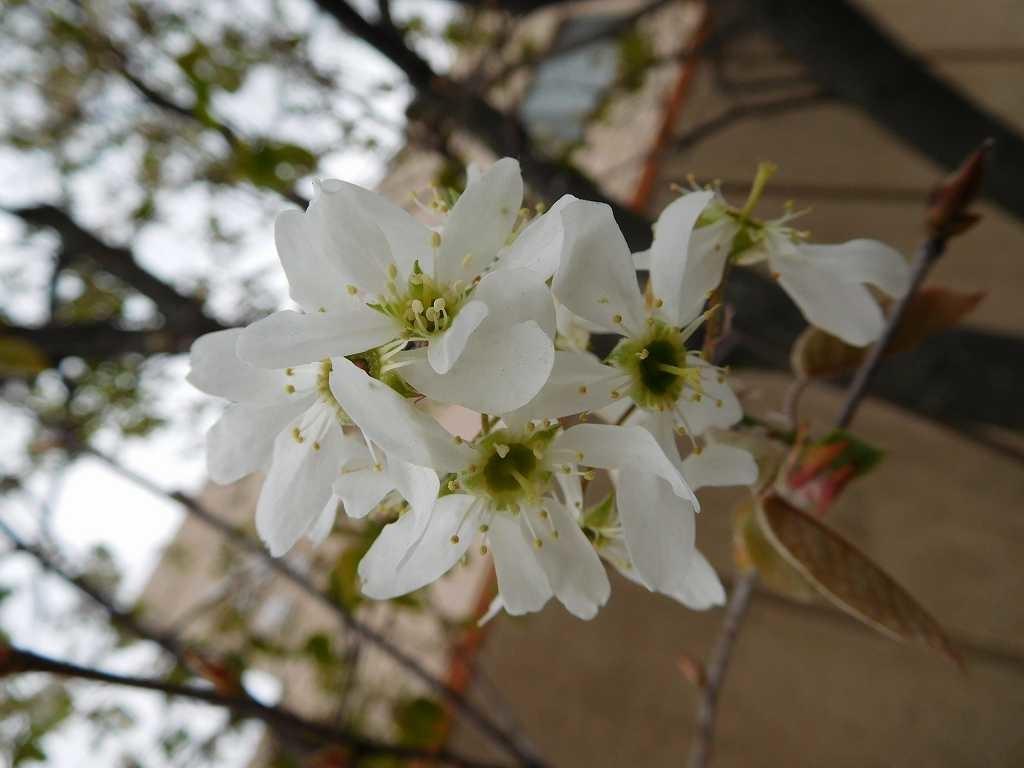 大場みすずが丘地区センターの「セイヨウザイフリボク」の花