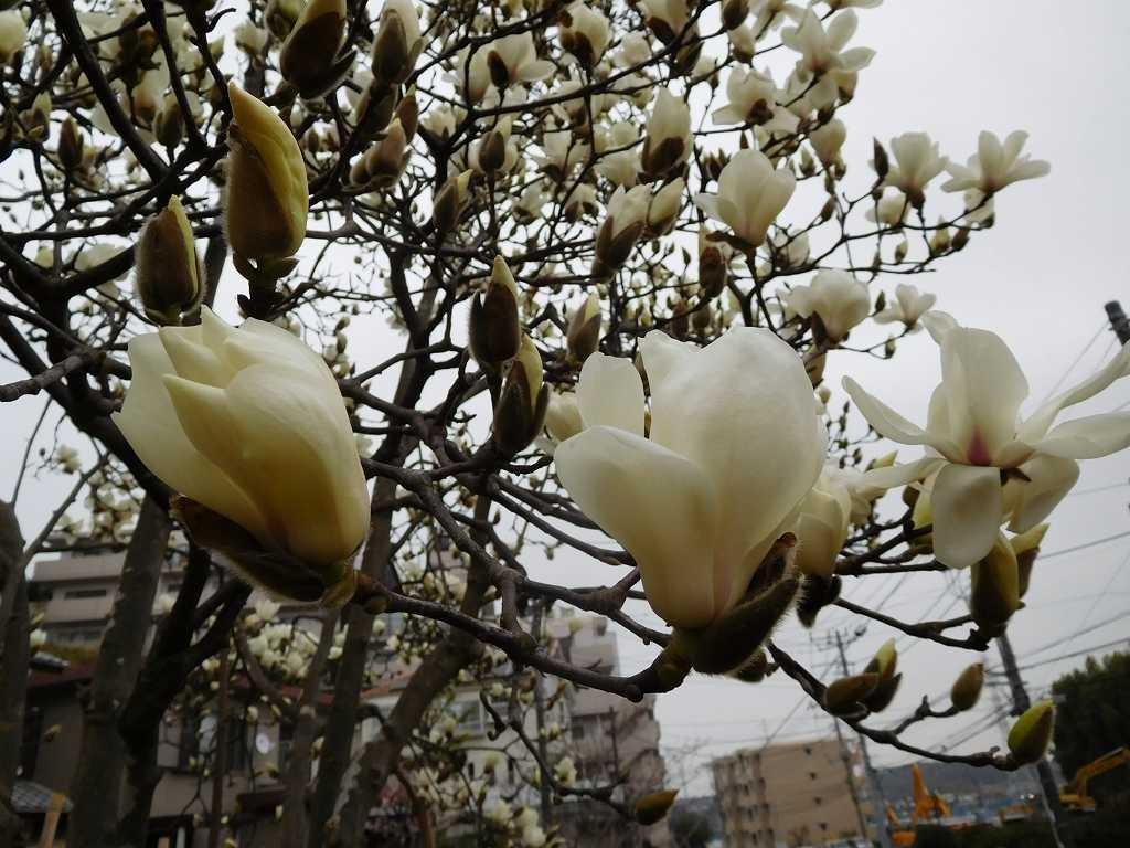 北八朔公園では白木蓮の花が鈴なり状態です