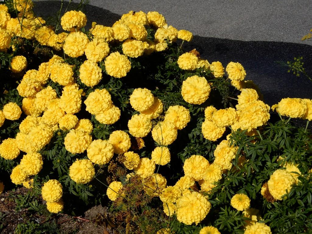 マリーゴールド・コキア等々花が咲いてます