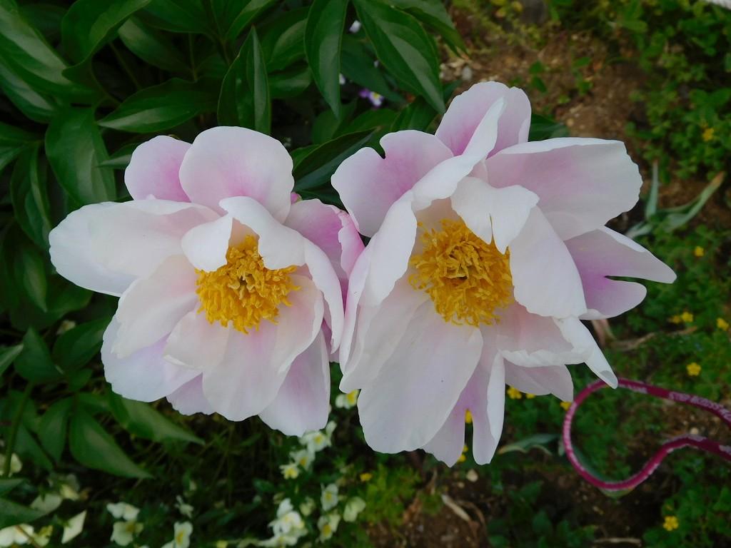 谷本公園入口に咲く芍薬の花
