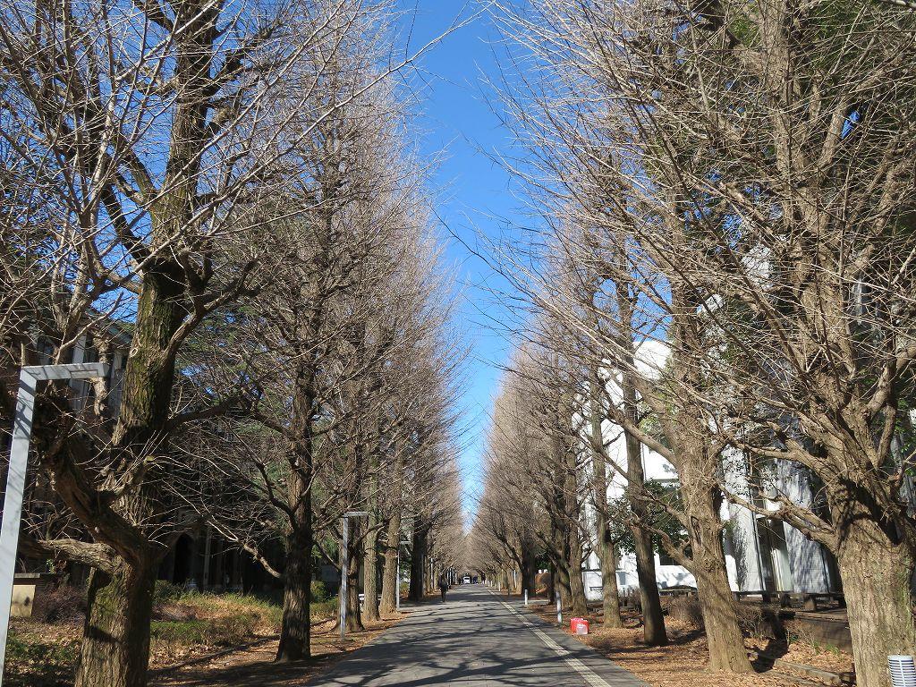 閑静な銀杏並木