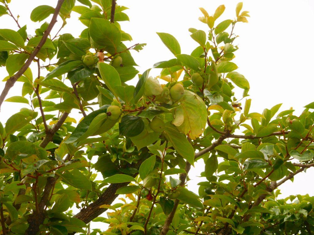 これは柿でしょうか? 既に実をつけています