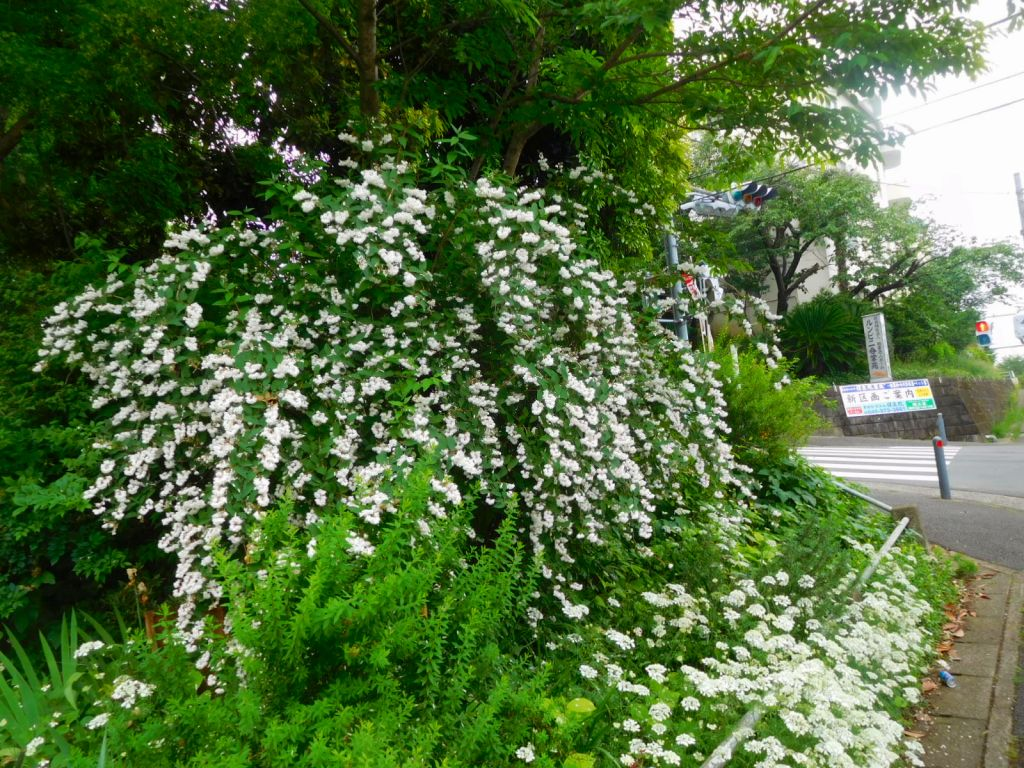 空木・アカンサス・花ウドも咲いていました
