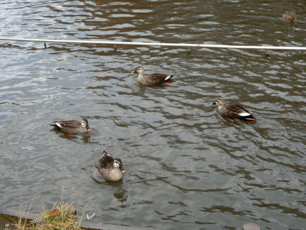 桜台公園の鴨たち