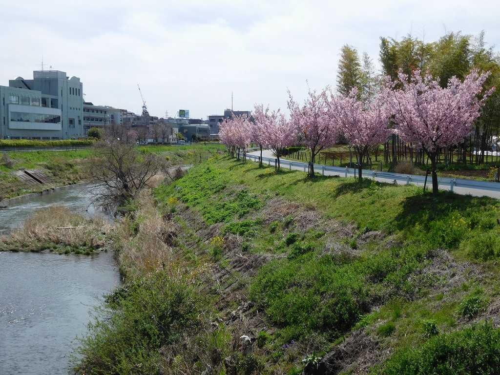 鶴見川は若樹ですが桜が満開です。将来愉しみですね