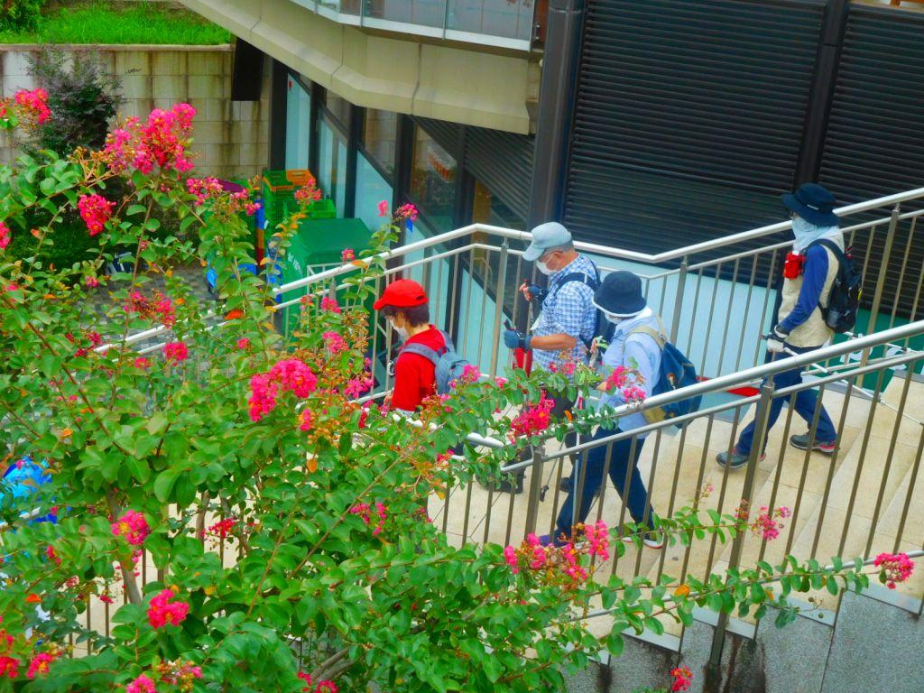 百日紅の花を横に見て区役所通りへ