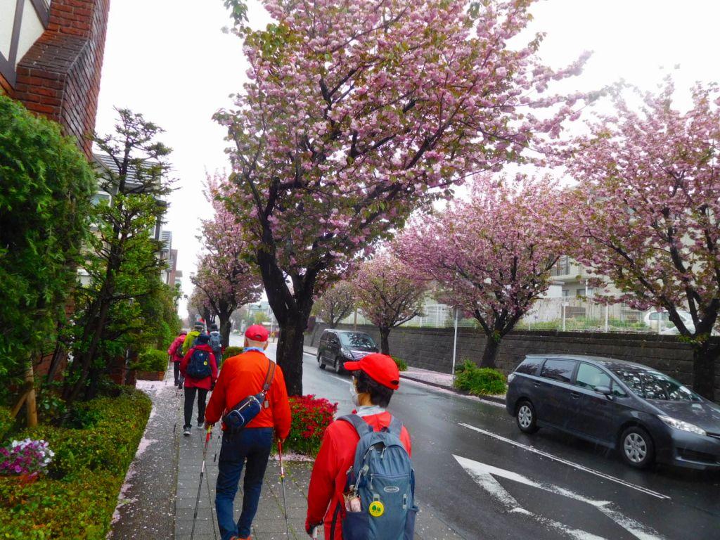 見応えのある八重桜を堪能しながら歩いてます