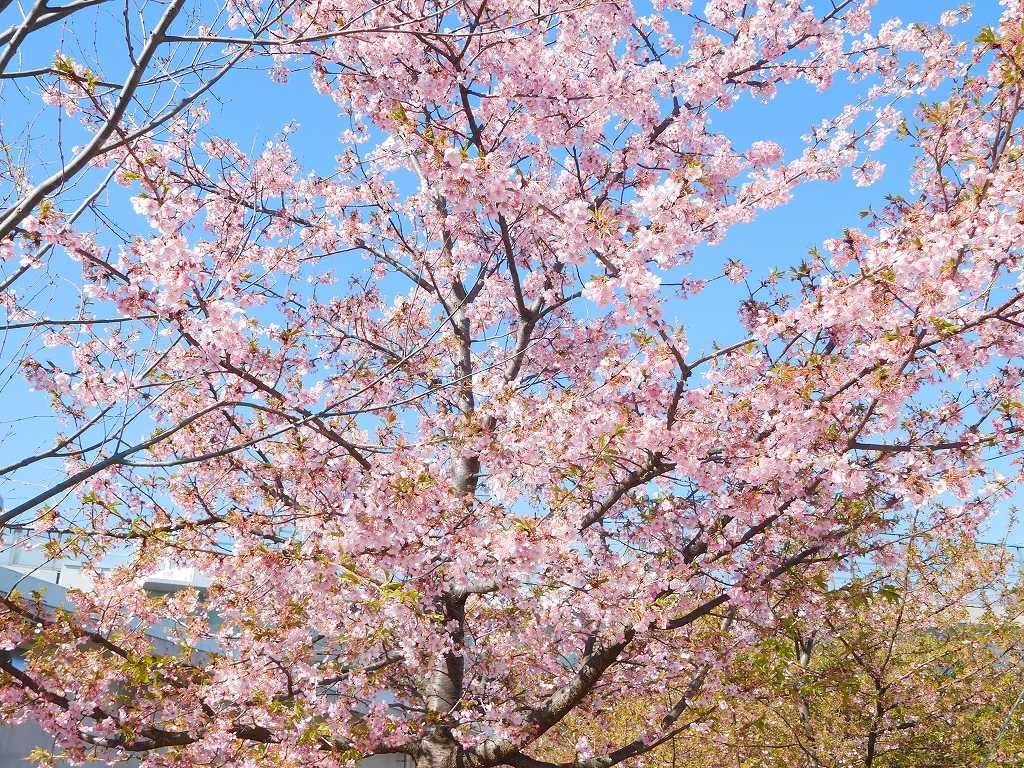 川和駅傍の桜