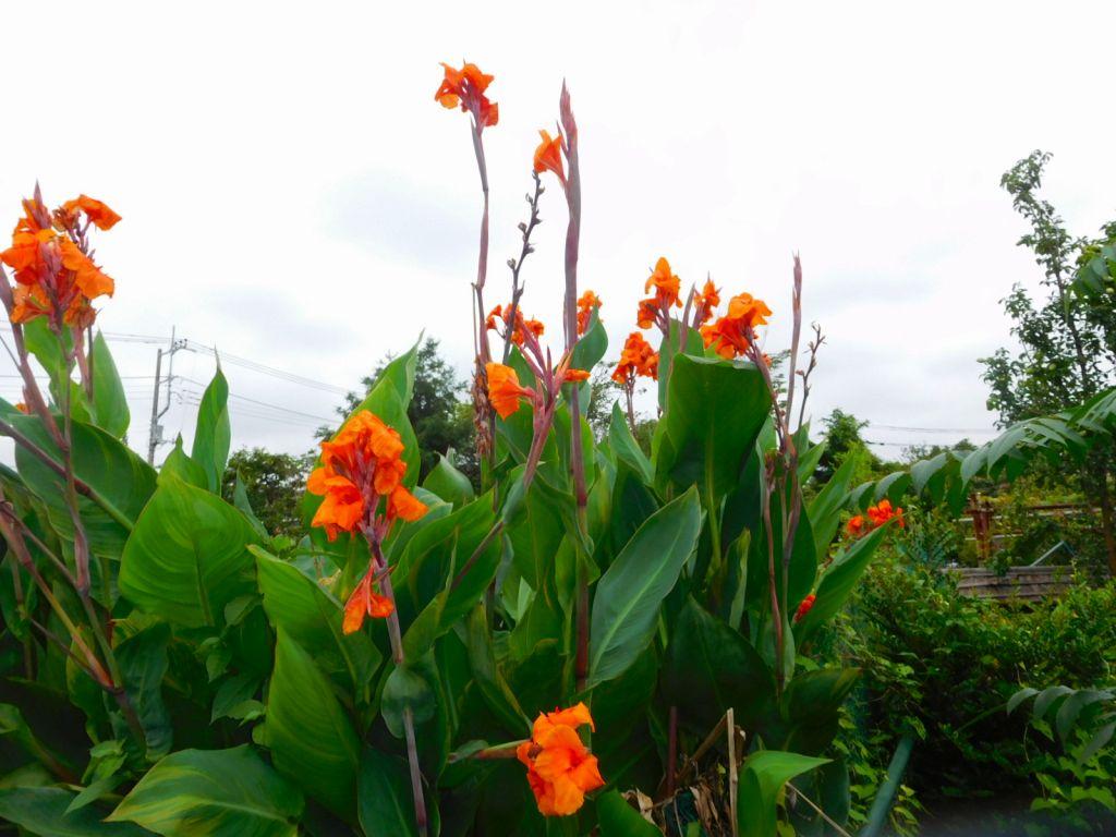 隣のカンナは今からは花の盛りと背を伸ばしています