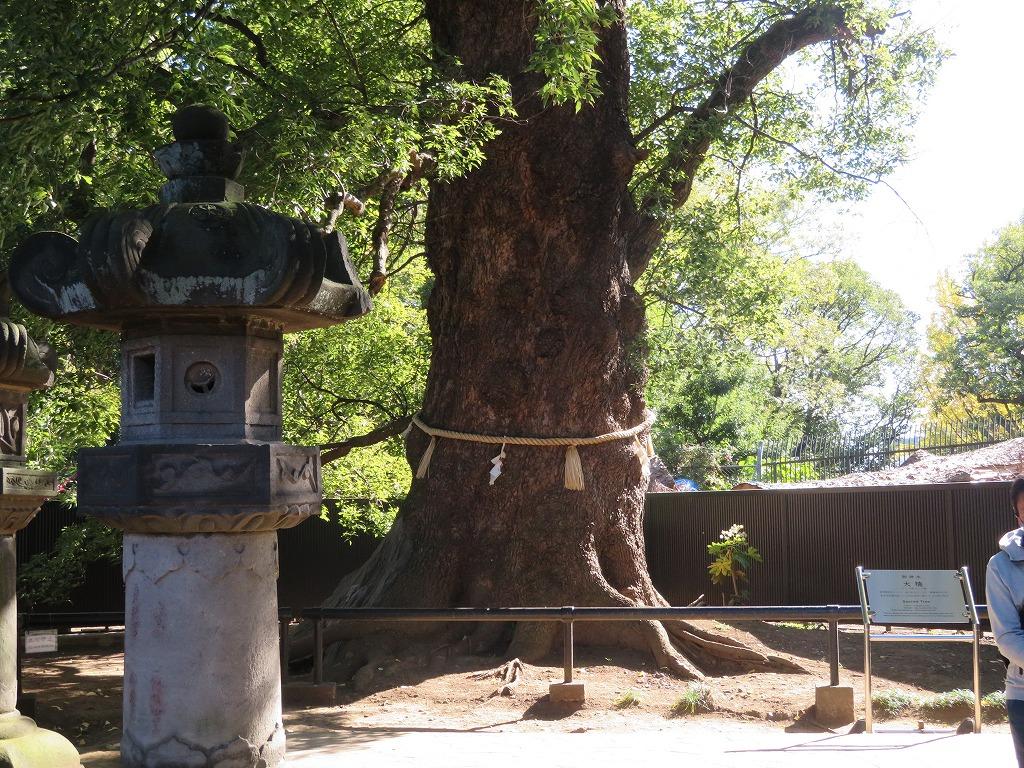 樹齢600年を超す東照宮のご神木 幹の太さは8m以上で上野公園一