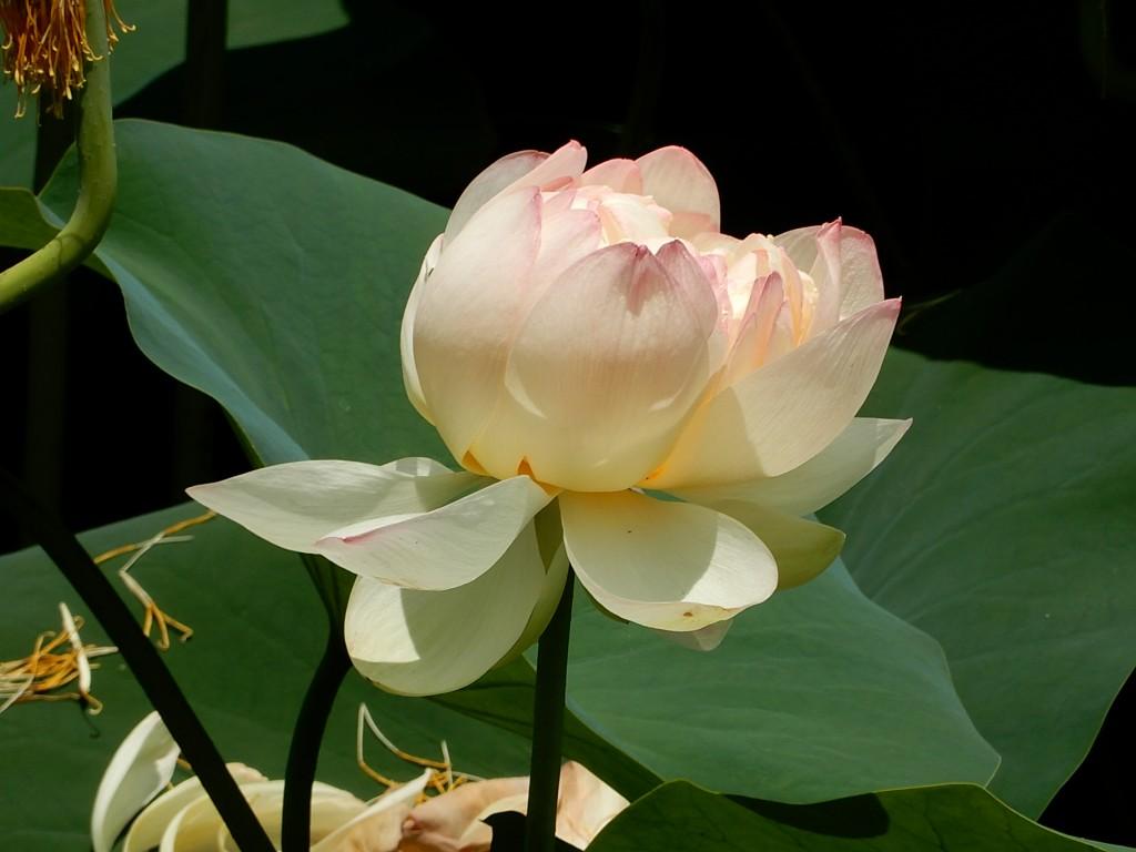 徳生公園の池に咲いている蓮の花