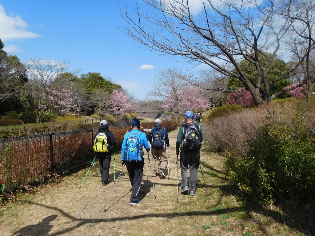 薄いピンクの修善寺寒桜も見えています