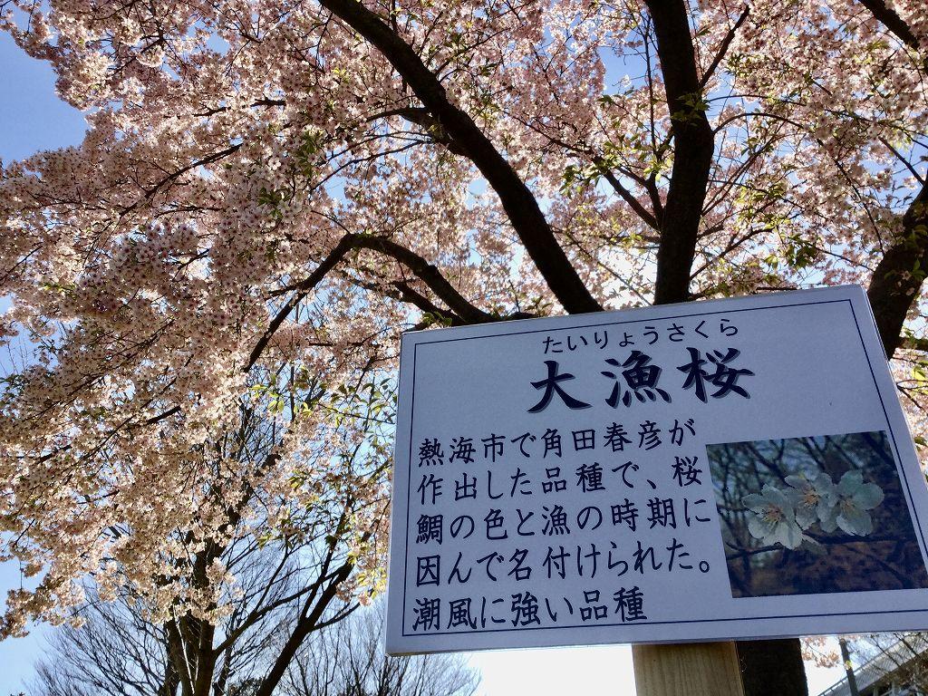 大漁桜 この写真は何時撮ったのでしょうね