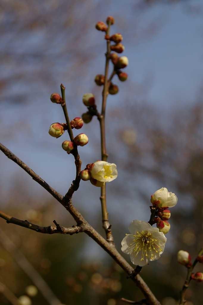 折田不動公園では白梅は咲き始めの状態