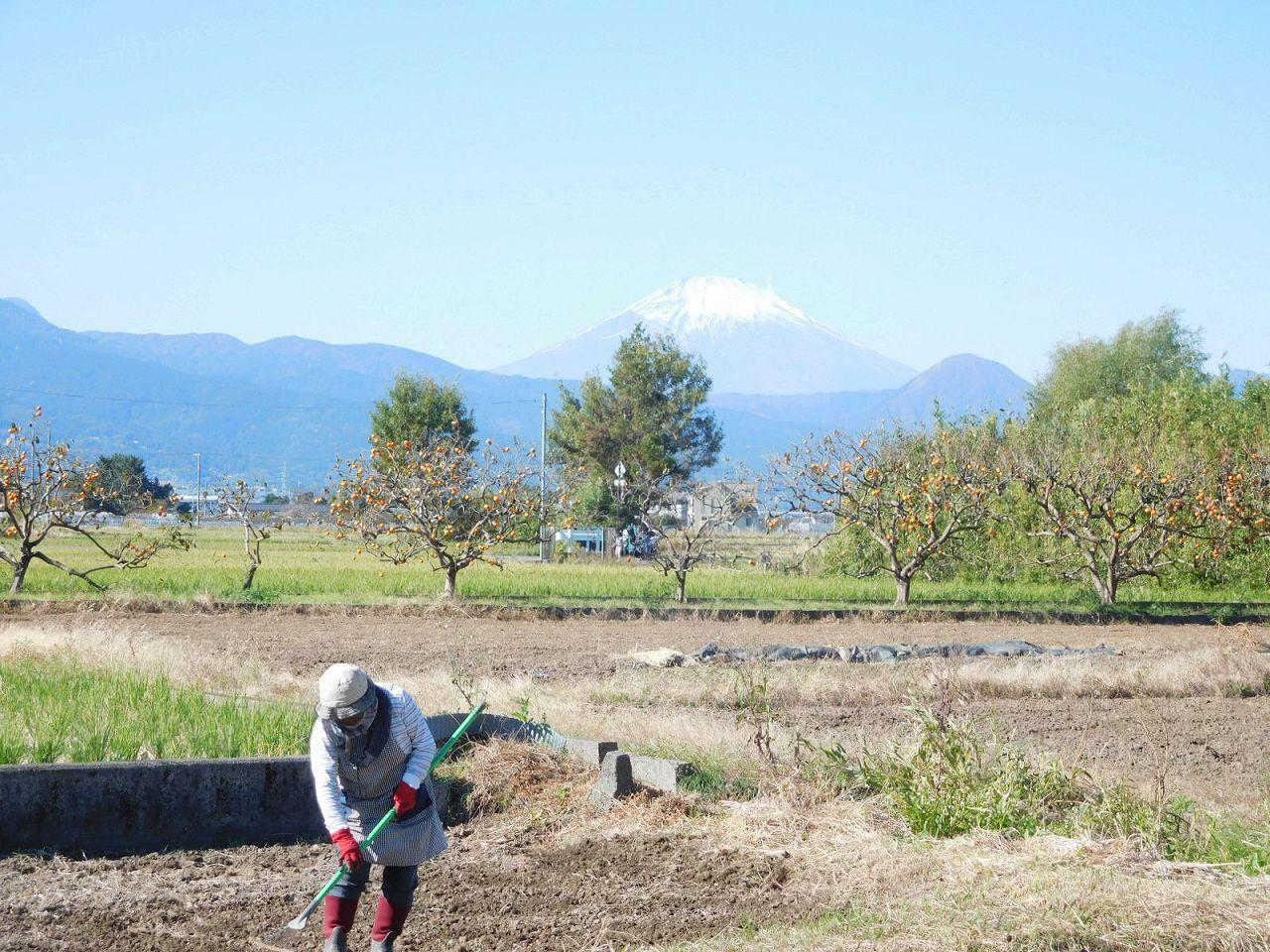 農作業・みかん・富士のコンストラスト