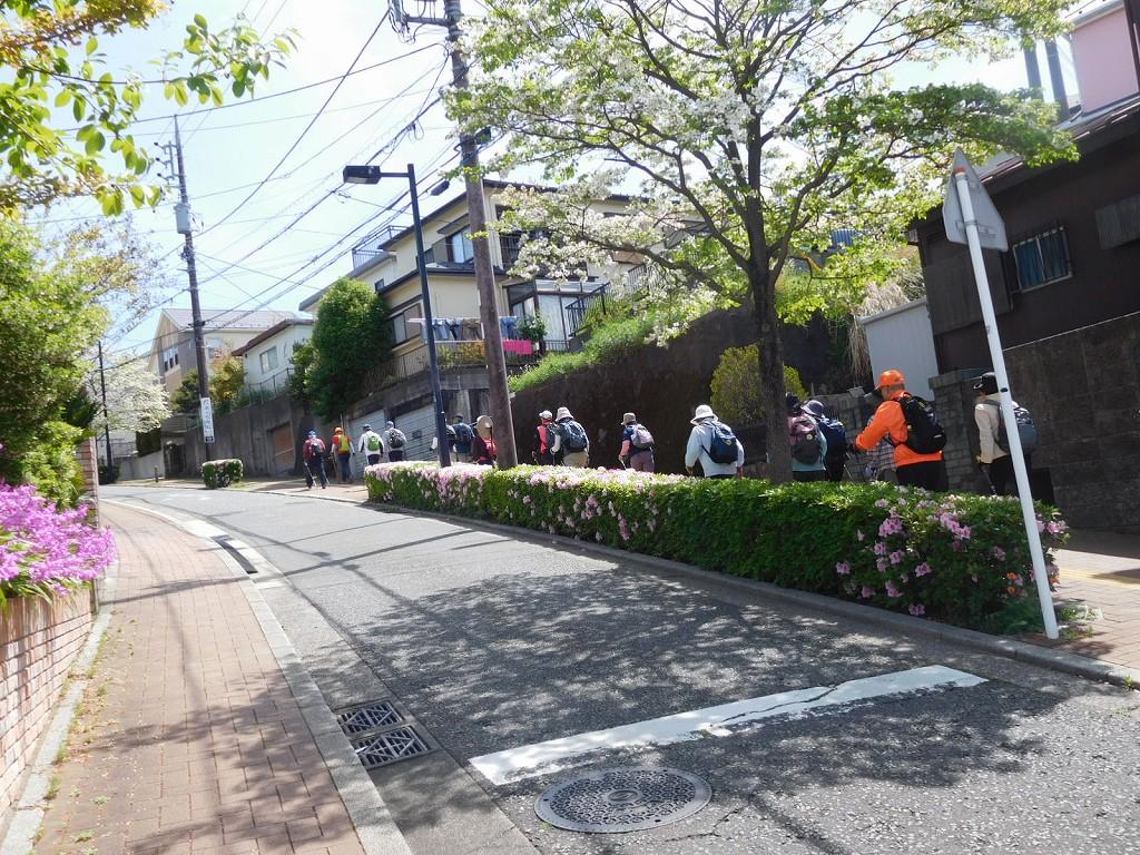 白色の花水木と躑躅の坂道を登る