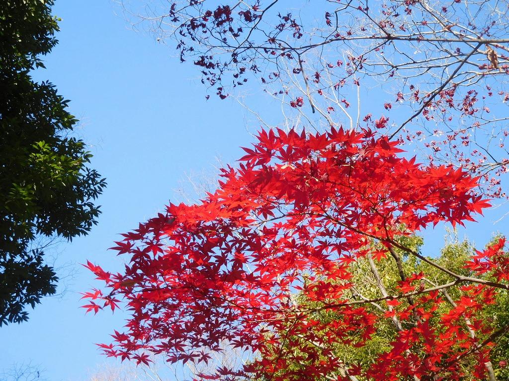 紅葉の紅さと青空 見事なコントラストですよね