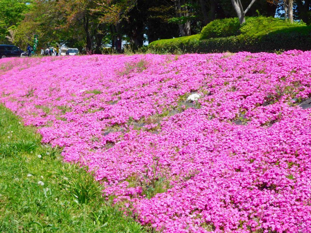 全長1.4㎞ 日本一の長さの相模川の芝桜