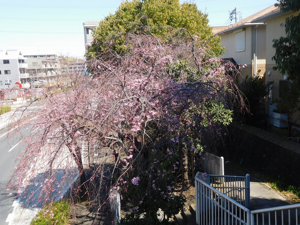 枝垂れ桜も咲き始めています