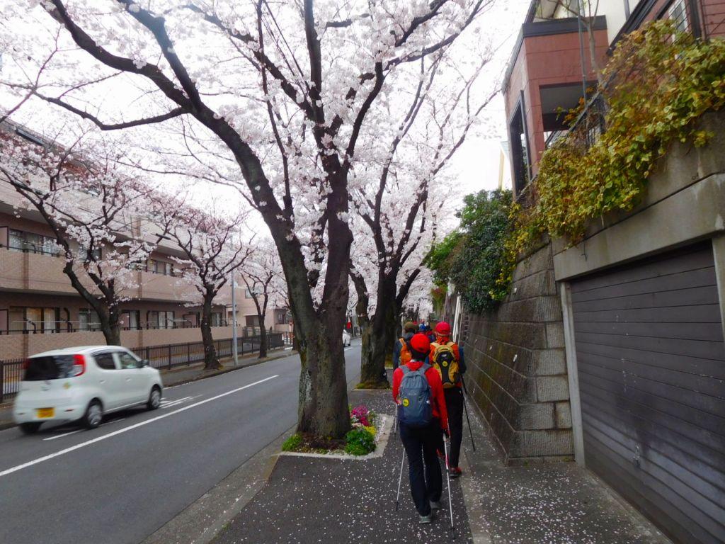 桜並木は満開です