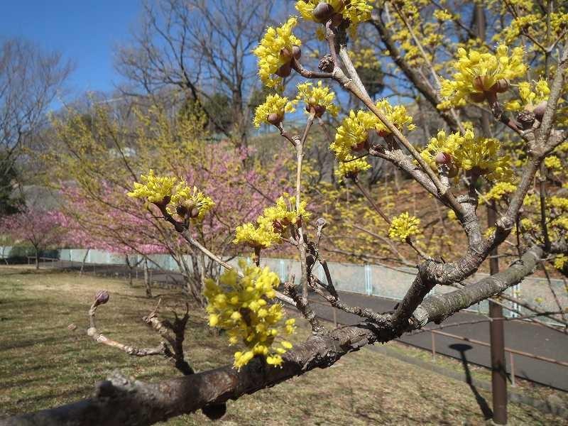 北八朔公園 山茱萸も満開