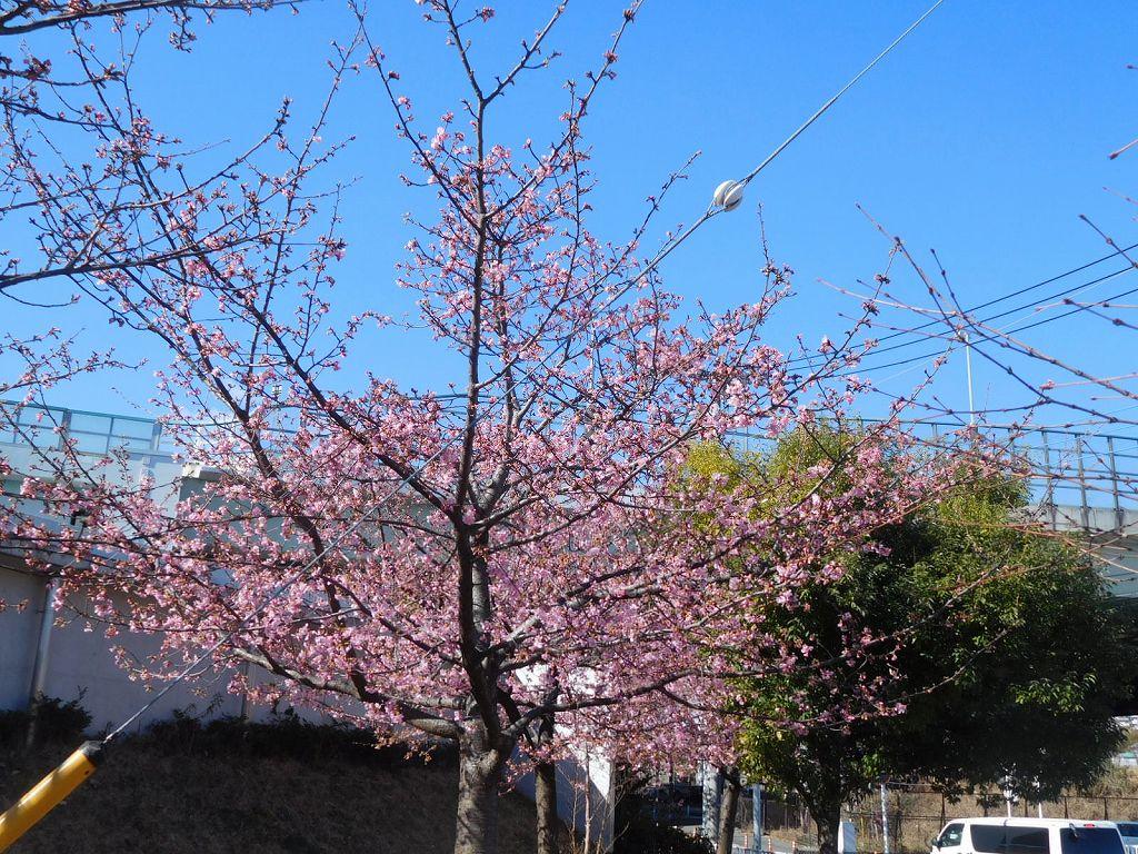 谷本公園到着 河津桜もこの樹は8部咲です