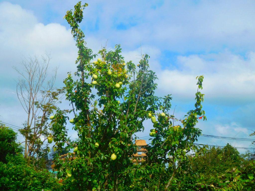 花梨の実が大きくなってきました