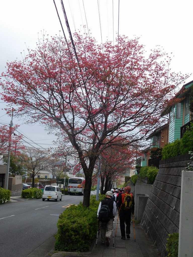 慶應付属小学校前の通りの花水木街路樹