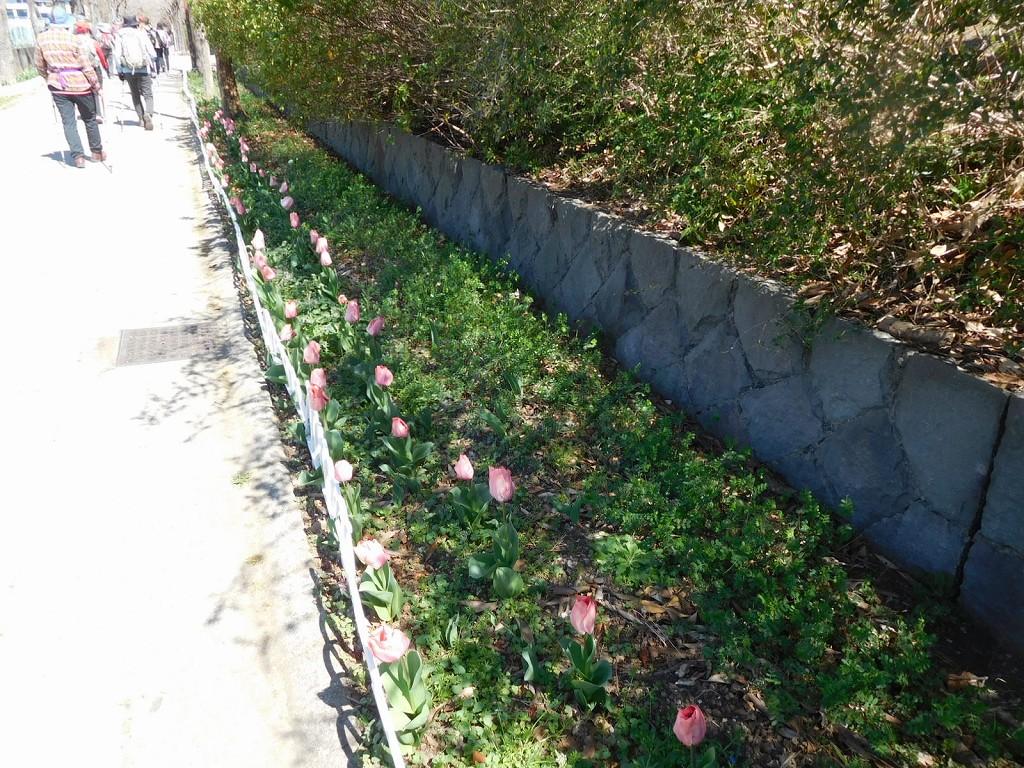 荏田南小・中学校の花壇にはチューリップが咲いていて綺麗