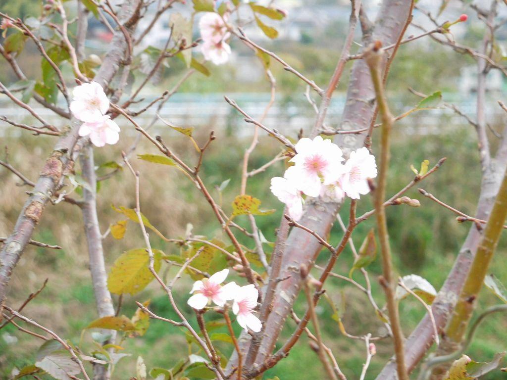鶴見川堤防に「10月桜」が咲いてます