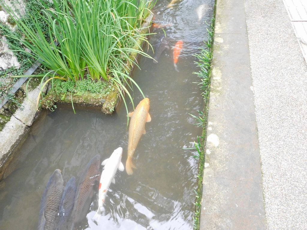 津和野の町は鯉が有名です
