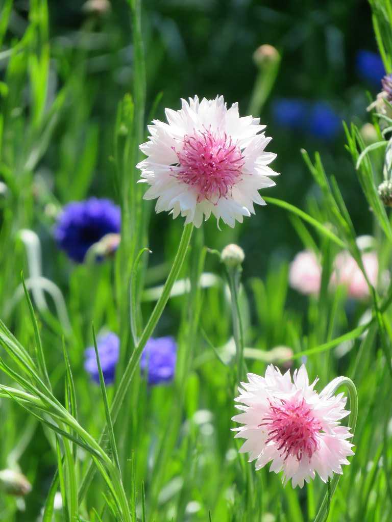 この花は矢車菊です