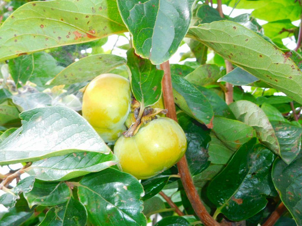 柿の実もそろそろ色づき始めています